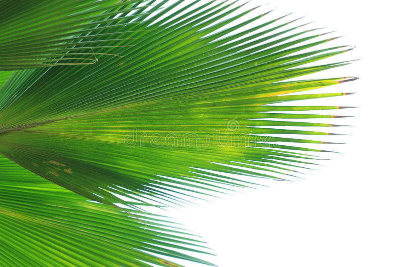 Beautiful palm leaves of tree stock photos