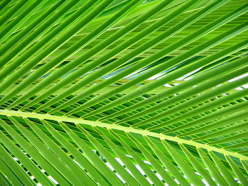 Beautiful Palm Tree Leaf royalty free stock photography