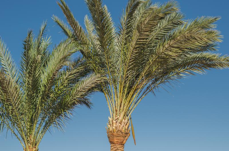 Beautiful palm trees against the background of blue sky in bright sunlight. Beautiful nature royalty free stock photography