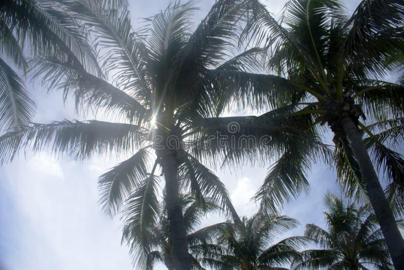 Palm Trees of Jupiter, Florida -05 royalty free stock photography