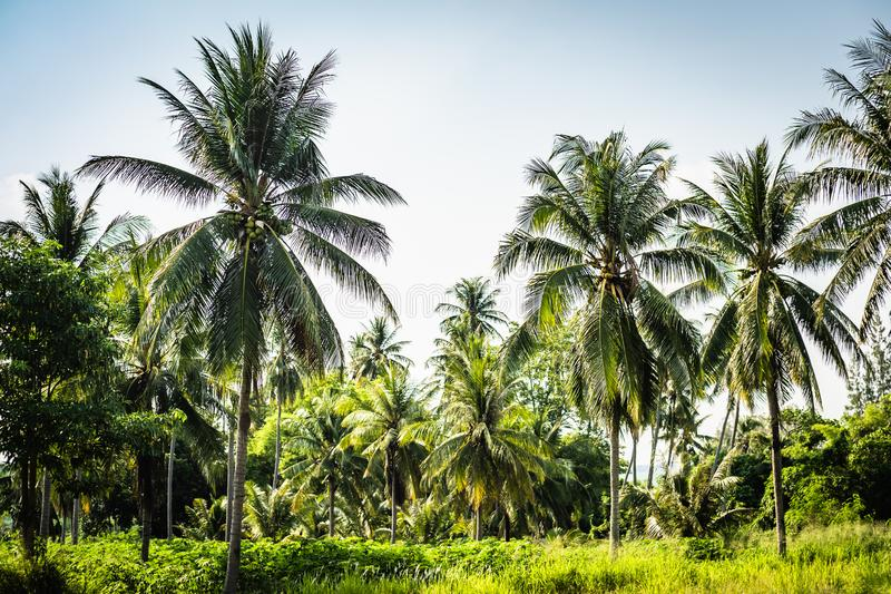 Beautiful palm trees with a magnificent crown on a background of blue sky, vacation concept. Palm grove on the island stock photos