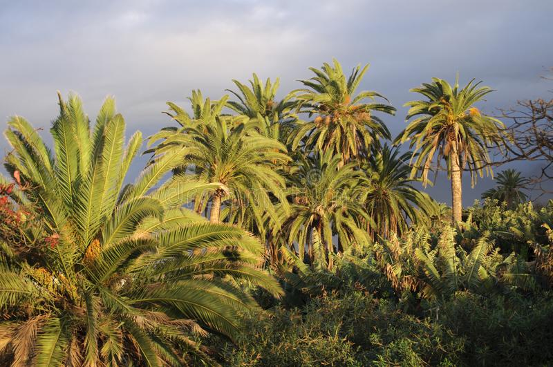 Palm trees and cloudy skies. Beautiful palm trees at sunset against the ocean and cloudy skies. Puerto de la Cruz, Tenerife, Canary Islands stock image