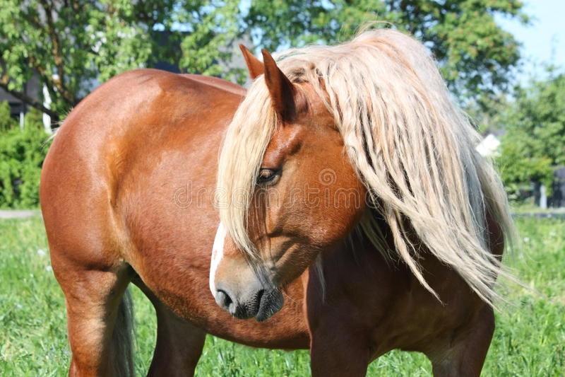 Beautiful palomino draught horse portrait. Beautiful palomino draught horse with long mane portrait in summer stock image