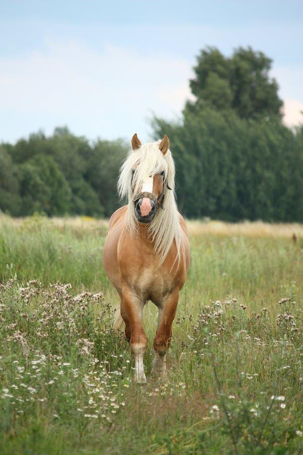 Beautiful palomino draught horse walking at the field