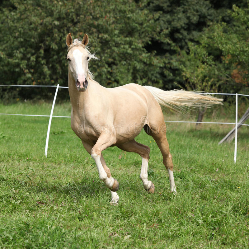 Beautiful palomino horse running on pasturage. In autumn stock image