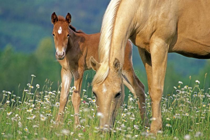 Beautiful Palomino Mare with few week old Foal grassing at summer pasture stock photo