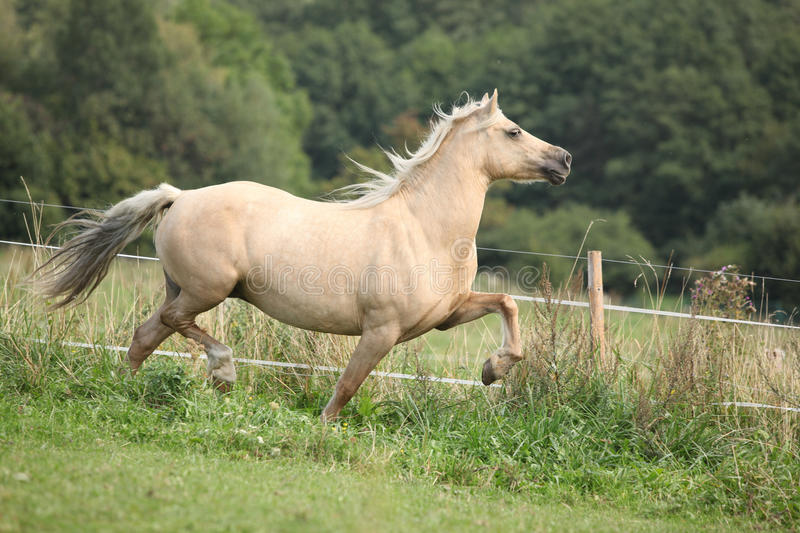 Beautiful palomino mare wunning on pasturage. Beautiful palomino welsh cob mare wunning on pasturage stock photography