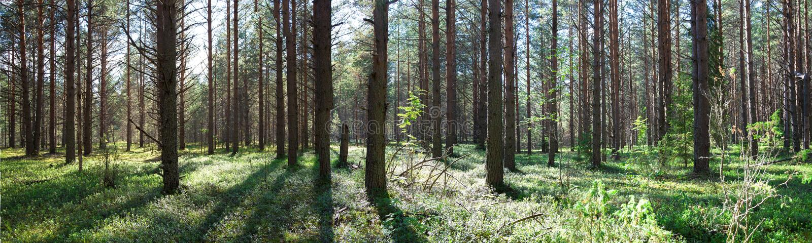 Beautiful panorama of the forest in summer. Pine forest. royalty free stock photography