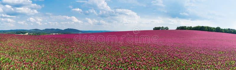 Spring panorama of flowering crimson clovers. Trifolium incarnatum royalty free stock photos