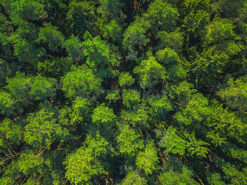 Beautiful panoramic photo over the tops of pine forest. Aerial view. From above. Picture taken using the drone. Top view stock image