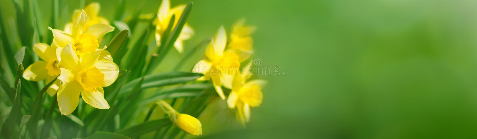Beautiful Panoramic Spring background With Daffodils Flowers stock photo