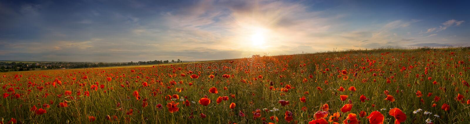 Beautiful panoramic view of the poppies at sunset. Panoramic picture of the poppies at sunset stock photo