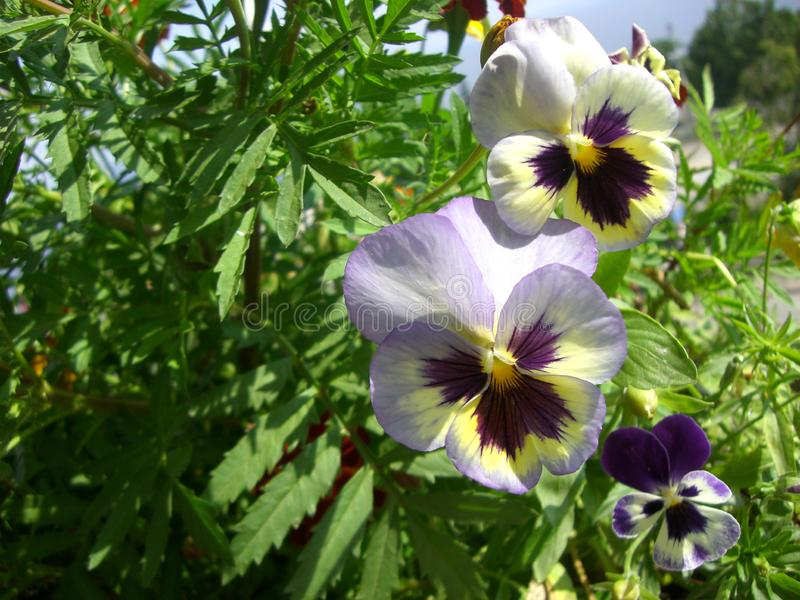 Beautiful pansies - cultivated violas - on the background of tagetes. Balcony greening with flowers stock images