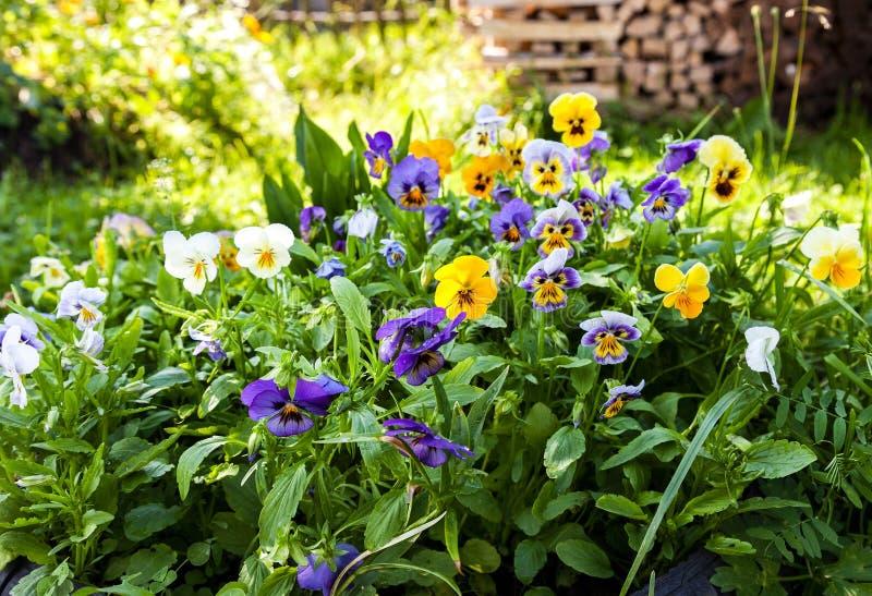 Beautiful Pansies or Violas growing on the flowerbed. In garden stock images