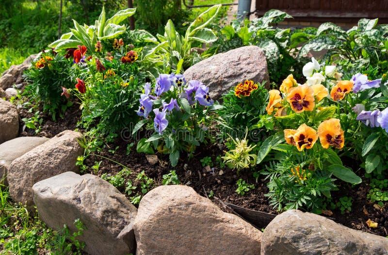 Beautiful Pansies or Violas growing on the flowerbed in garden royalty free stock images