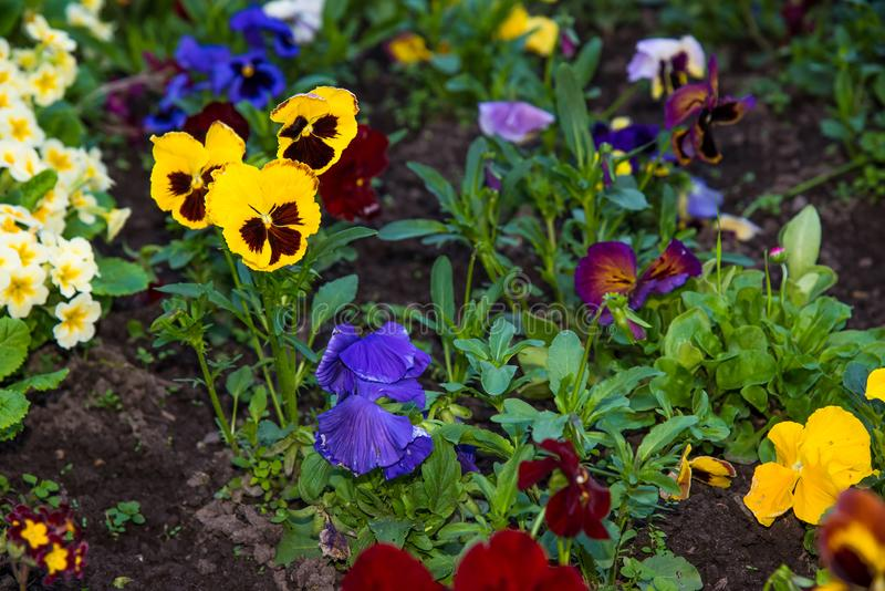 Beautiful Pansies or Violas growing on the flowerbed in garden. Garden decoration royalty free stock photos