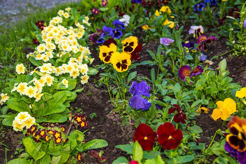 Beautiful Pansies or Violas growing on the flowerbed in garden. Garden decoration. Beautiful Pansies or Violas growing on the flowerbed in garden. Heartsease royalty free stock images