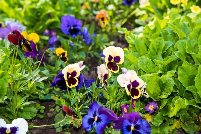 Beautiful Pansies or Violas growing on the flowerbed in garden. Garden decoration. Beautiful Pansies or Violas growing on the flowerbed in garden. Heartsease stock image