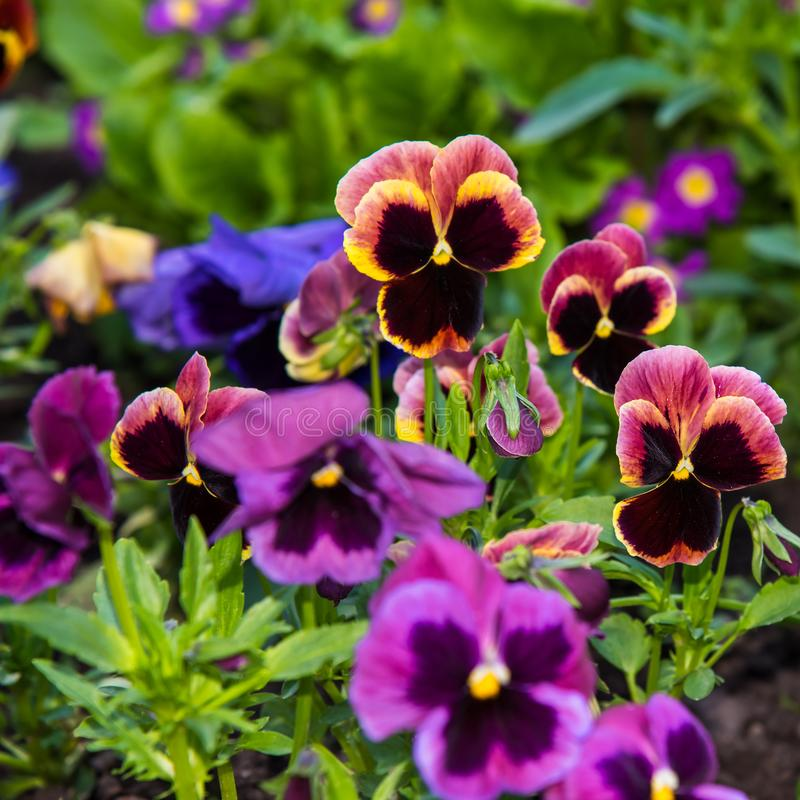 Beautiful Pansies or Violas growing on the flowerbed in garden. Garden decoration. Beautiful Pansies or Violas growing on the flowerbed in garden. Heartsease royalty free stock photo