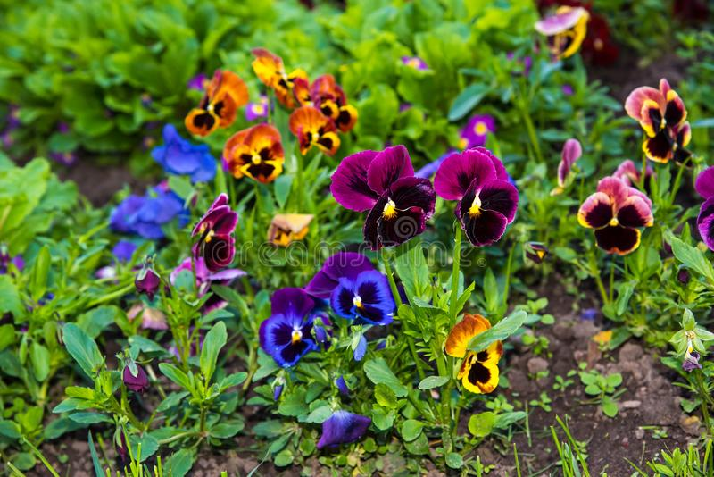 Beautiful Pansies or Violas growing on the flowerbed in garden. Garden decoration. Beautiful Pansies or Violas growing on the flowerbed in garden. Heartsease royalty free stock photography