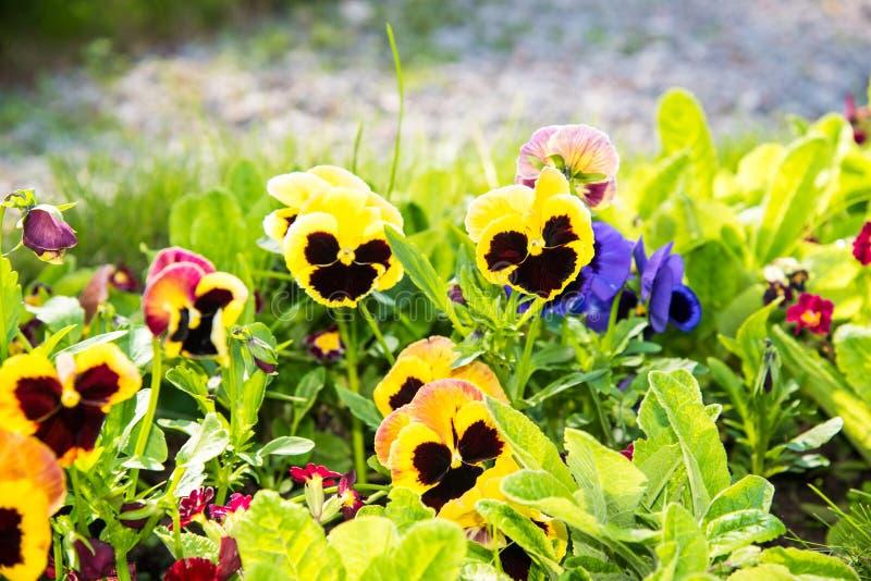 Beautiful Pansies or Violas growing on the flowerbed in garden. Garden decoration. Beautiful Pansies or Violas growing on the flowerbed in garden. Heartsease royalty free stock image