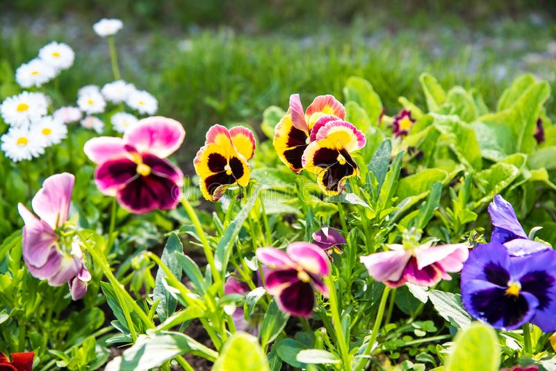 Beautiful Pansies or Violas growing on the flowerbed in garden. Garden decoration. Beautiful Pansies or Violas growing on the flowerbed in garden. Heartsease stock photography