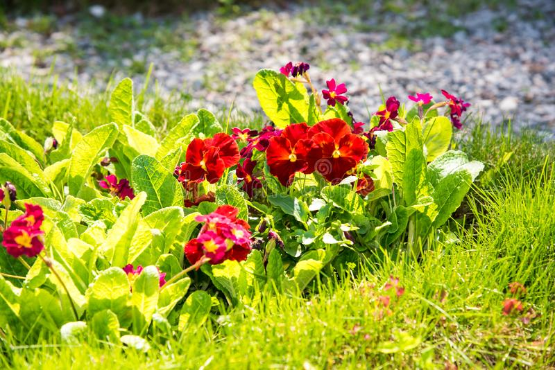 Beautiful Pansies or Violas growing on the flowerbed in garden. Garden decoration. Beautiful Pansies or Violas growing on the flowerbed in garden. Heartsease royalty free stock photos