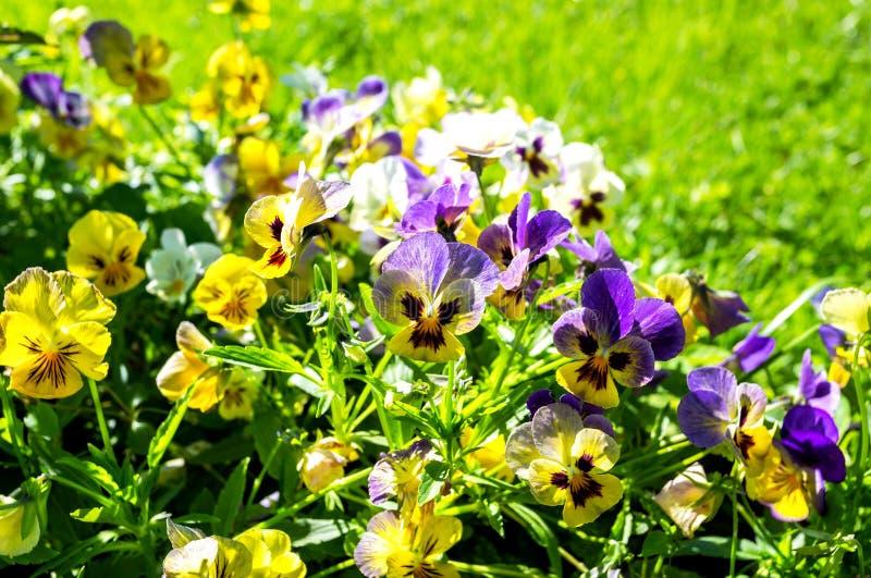 Beautiful Pansies or Violas growing on the flowerbed. In summer garden royalty free stock photo