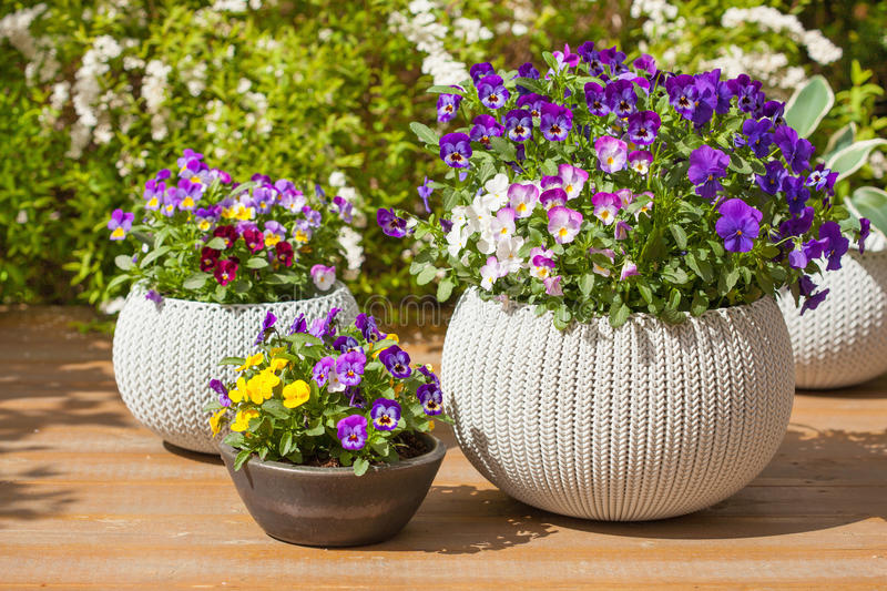 Beautiful pansy summer flowers in flowerpots in garden royalty free stock photography