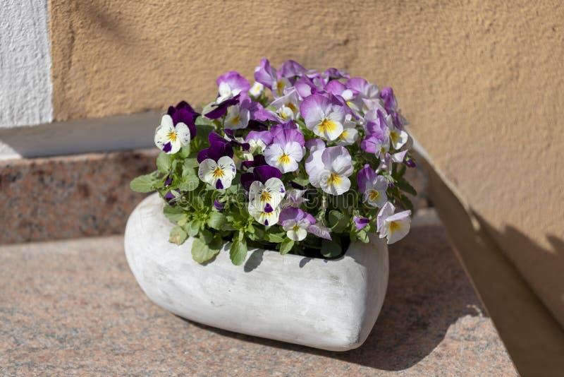 Beautiful pansy summer flowers in flowerpots in garden stock images