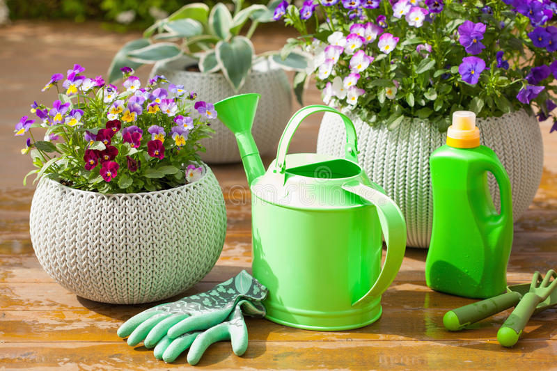 Beautiful pansy summer flowers in garden, watering can, tools stock photo