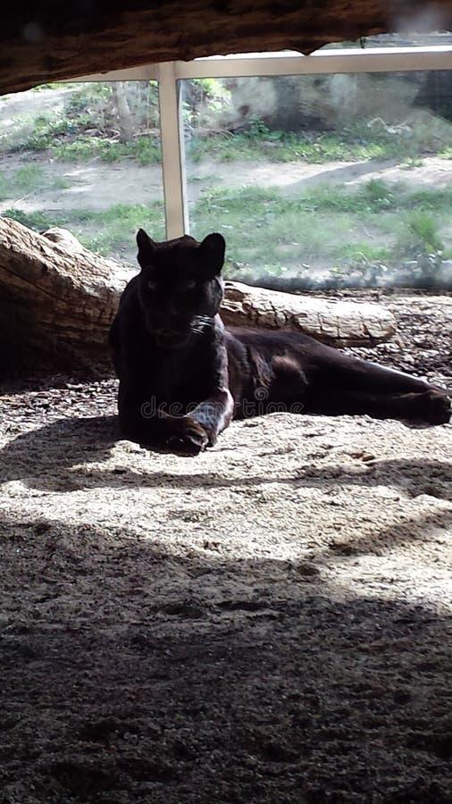 Beautiful panther royalty free stock image