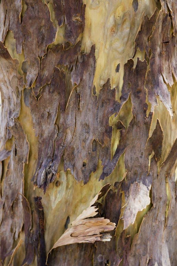 Paper bark gum tree royalty free stock photos