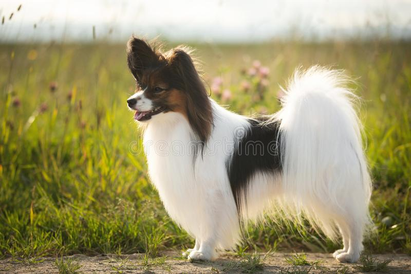 Beautiful Papillon dog standing in field in summer. Beautiful Papillon dog standing in green grass field in summer at sunset. Portrait of continental toy spaniel stock photos