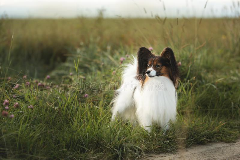 Beautiful Papillon dog standing in field in summer. Beautiful Papillon dog standing in green grass field in summer at sunset. Portrait of continental toy spaniel stock photography
