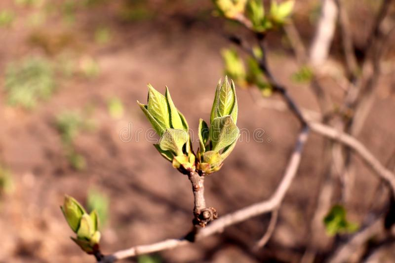Spring begins! Trees are filled with buds. The winter weather is over and the plants come to life. Spring begins! Trees are filled with buds royalty free stock image