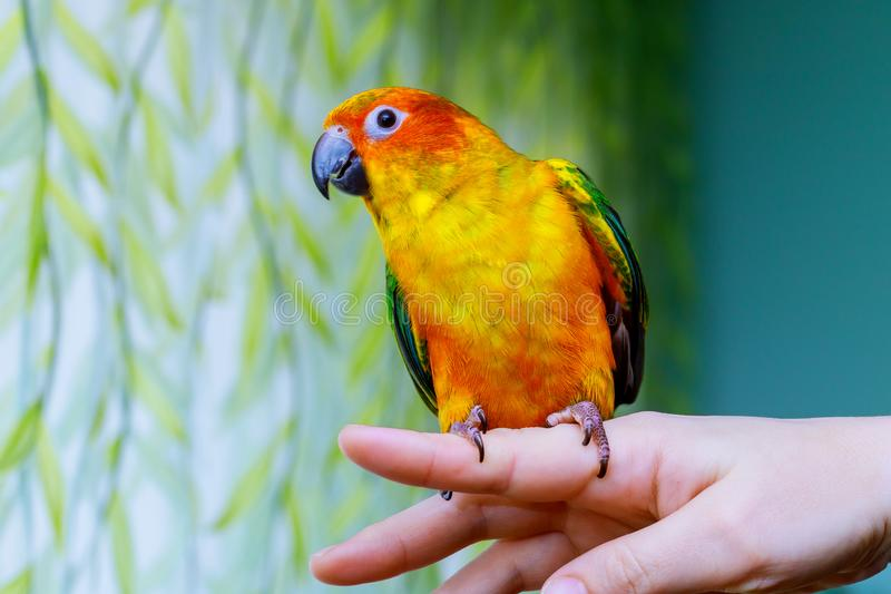 Parrot scratching his beak with his Claws stock photo