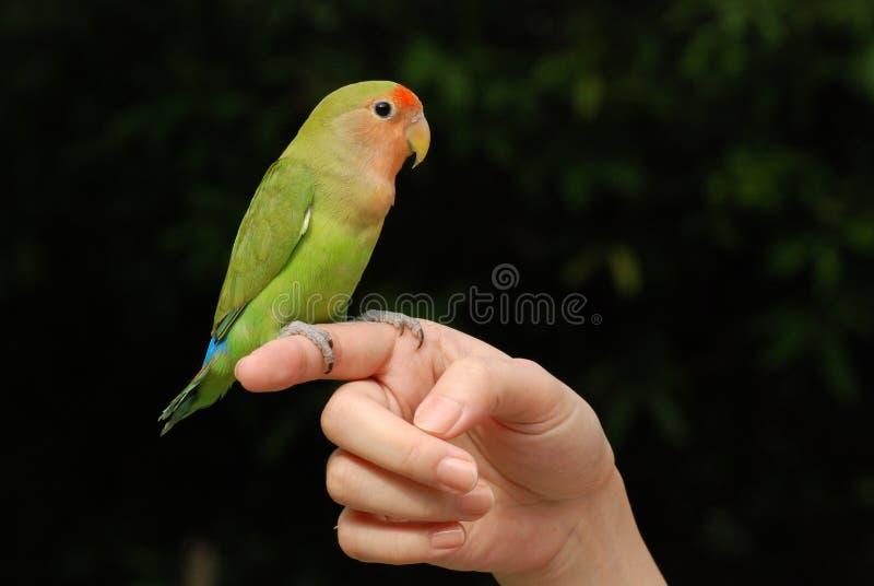 Beautiful parrot pet stock image