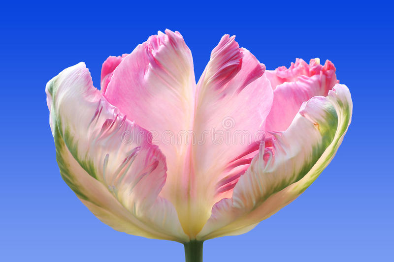 Beautiful parrot tulip, tricolor, against blue sky royalty free stock photo