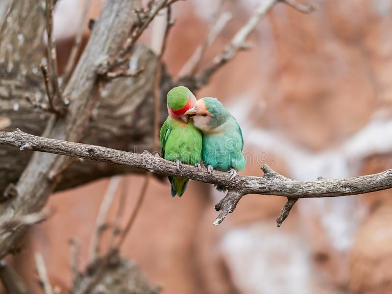 Beautiful parrots in zoo at Loro Park Loro Parque, Tenerife, Canary Islands, Spain.  stock photography