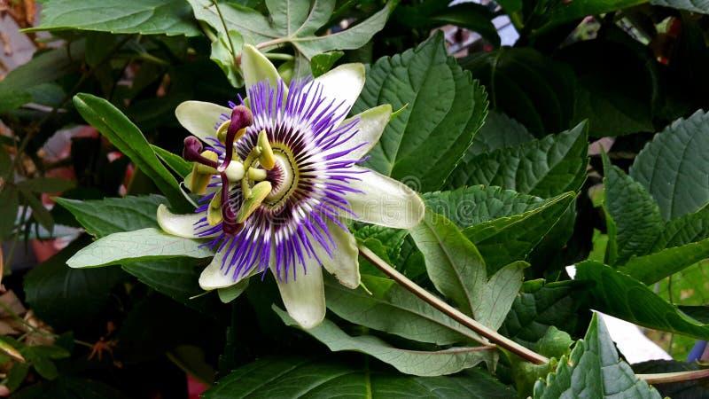 Passiflora Caerulea Blue Crown flower. The beautiful Passiflora Caerulea also known as Passion flower. Tropical Passion flower royalty free stock photography