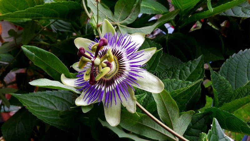 Passiflora Caerulea Blue Crown flower. The beautiful Passiflora Caerulea also known as Passion flower. Tropical Passion flower stock photos
