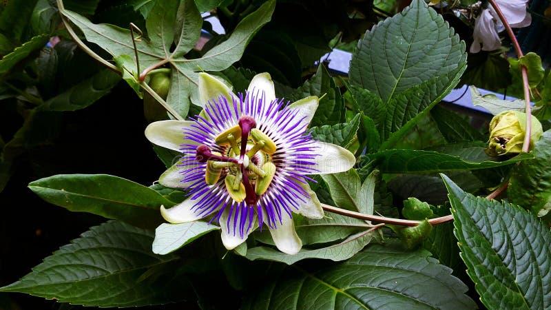 Passiflora Caerulea Blue Crown flower. The beautiful Passiflora Caerulea also known as Passion flower. Tropical Passion flower stock images
