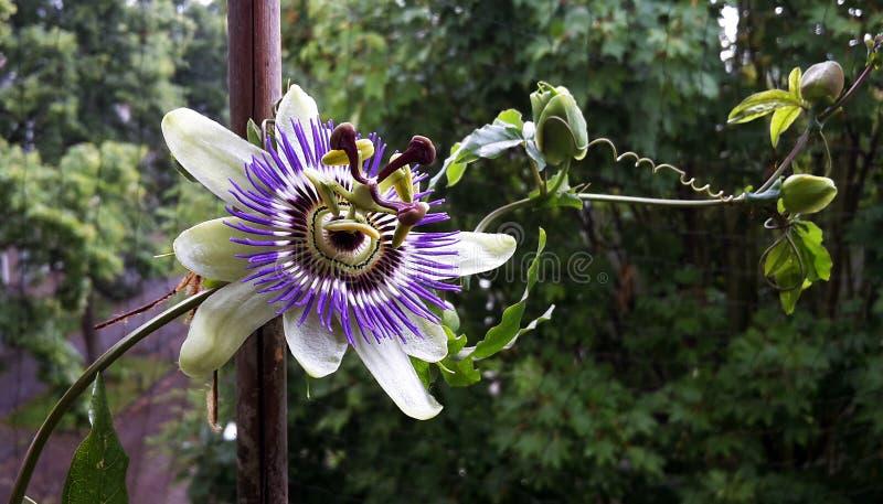 Passiflora Caerulea Blue Crown flower. The beautiful Passiflora Caerulea also known as Passion flower. Tropical Passion flower royalty free stock image