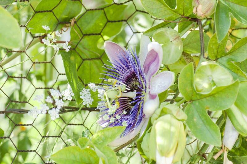 Beautiful passiflora caerulea. Tropical passion flower.  stock photos