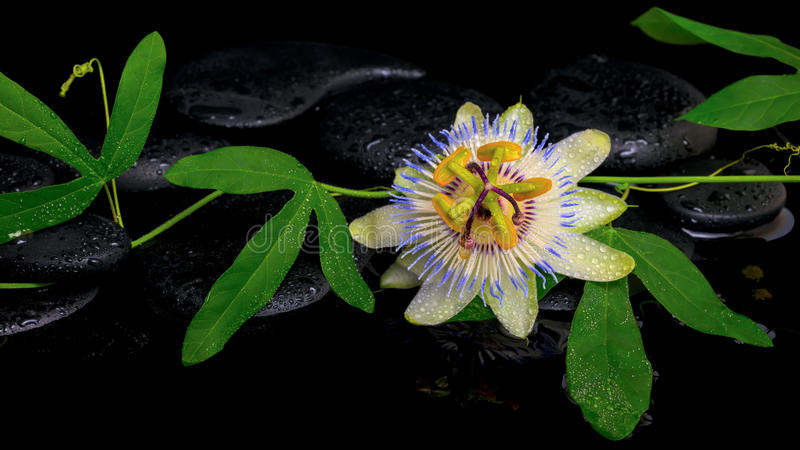 Download Beautiful Passiflora Green Branch With Flower On Zen Stones Stock Photo - Image: 42995560