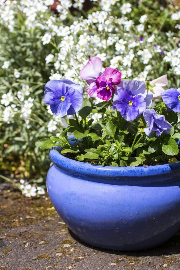 Beautiful pastel blue pansies growing in the garden royalty free stock image