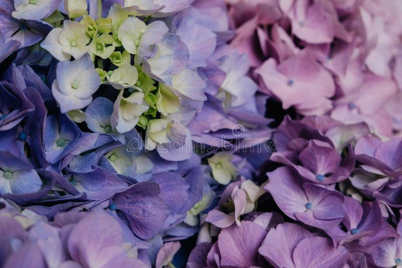 Beautiful pastel blue and purple hydrangea flowers in bloom, close up. Summer floral texture for background royalty free stock images