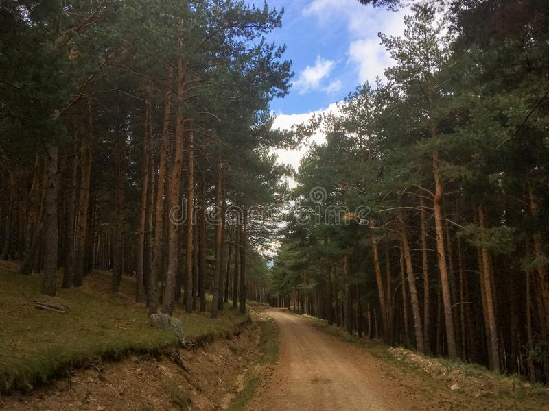 Path in a pine forest. Beautiful path to hiking in a pine forest Pinus sylvestris in the mountain Somosierra, Spain stock image