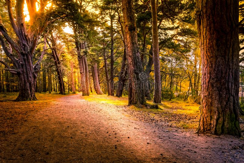 Beautiful path way through Aviemore forest in late summer with shadows and sun spots royalty free stock image